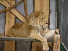 Visit ZOO in Slovakia (Lion from ZOO SNV)